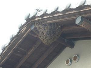 大屋根の軒先への営巣1